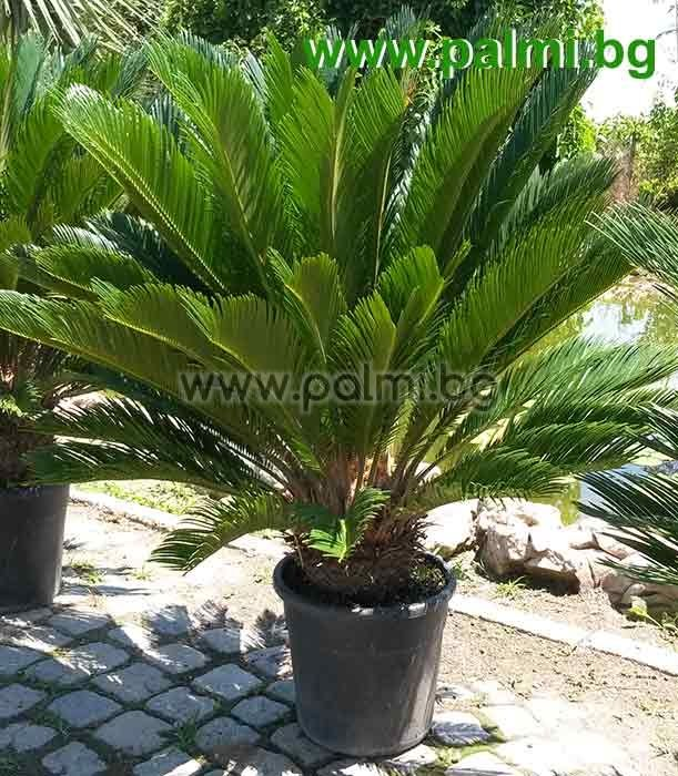 Cycas Revoluta King Sago From Botanical Garden Plovdiv
