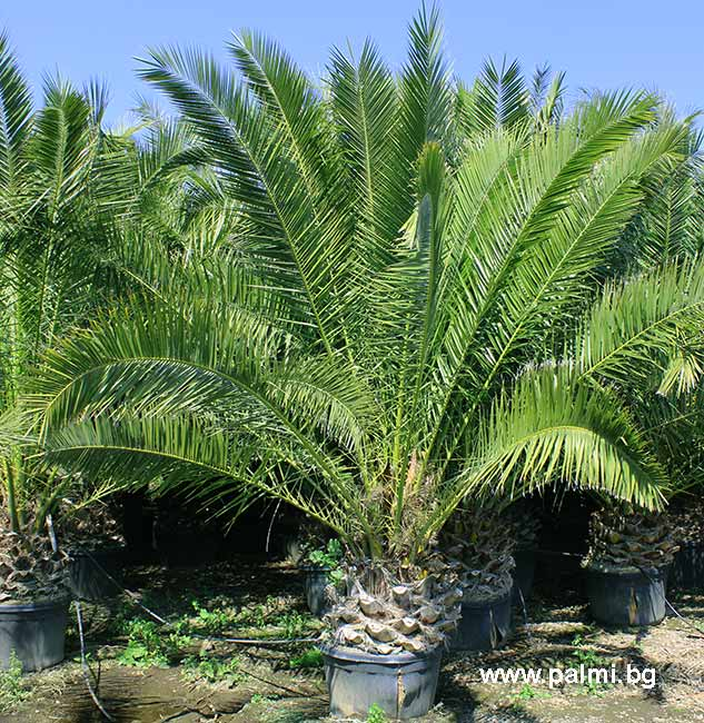 Canary Island Date Palm | PALM TREES | Pinterest