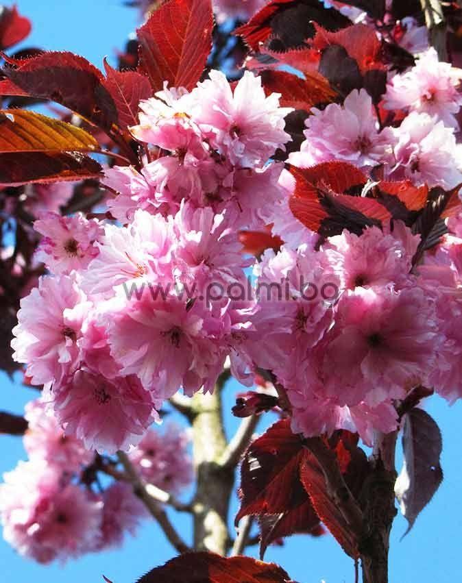 New Truck Prices >> Prunus serrulata 'Royal Burgundy', Japanese Cherry with ...