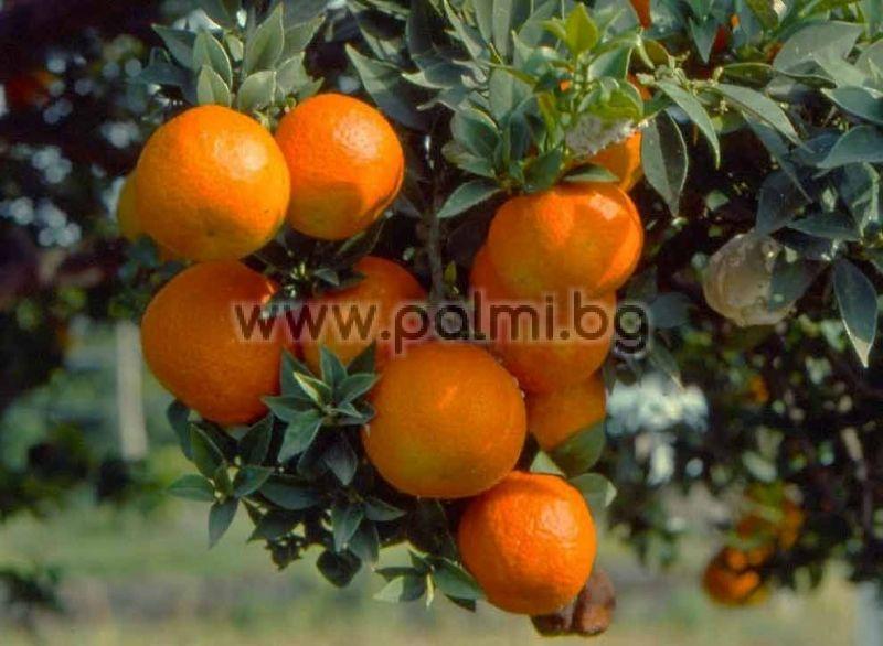 Citrus myrtifolia chinoto for Citrus myrtifolia