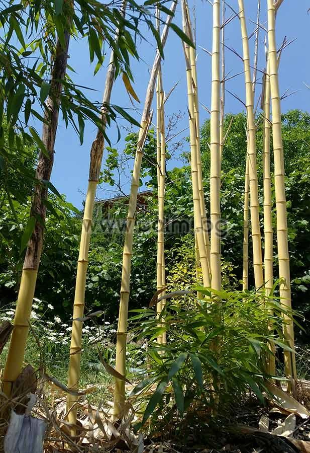 phyllostachys vivax 39 aureocaulis 39 giant golden vivax bamboo. Black Bedroom Furniture Sets. Home Design Ideas