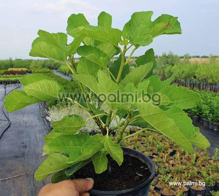 Ficus Carica Male Brunswick, Male Fig Pollinator From