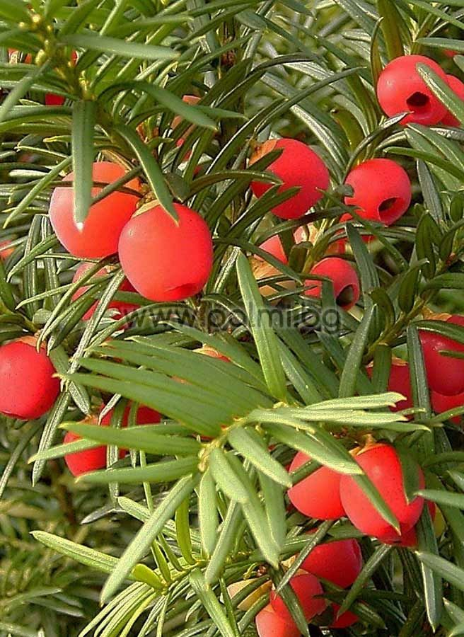 taxus baccata european yew english yew