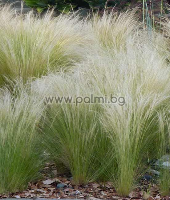 stipa  nassella  tenuissima  mexican feather grass  pony tails