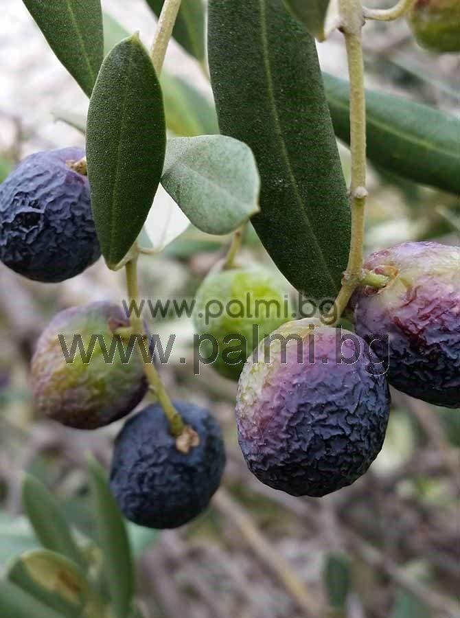 3 seeds of selected Russian coldhardy olive variety Nikitskiy VI