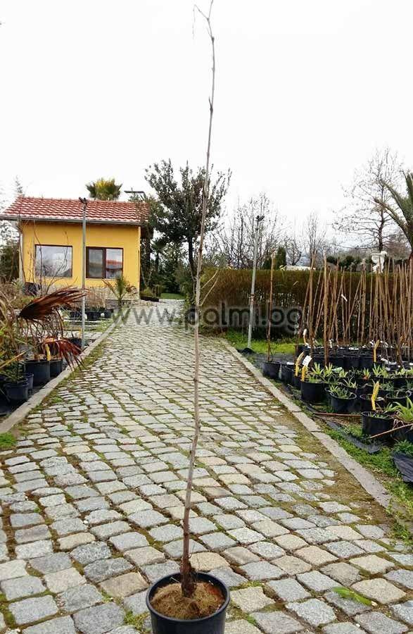 platanus orientalis morgenl ndische platane. Black Bedroom Furniture Sets. Home Design Ideas