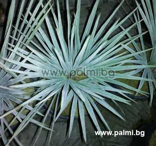 Brahea Armata Mexican Blue Palm In 3 Liter Pot