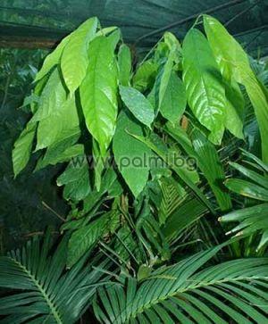 Какао, Шоколадово дърво
