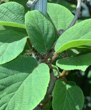 Actinidia deliciosa 'Hayward'  Kiwi Hayward von Botanischem Garten - Plovdiv