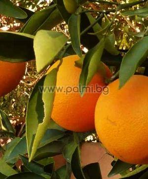 Портокал сорт Навел Лейн Лейт