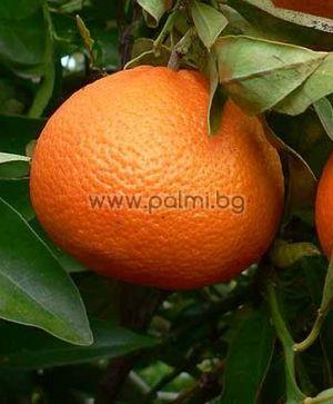 Hybrid Mandarin Ortanique