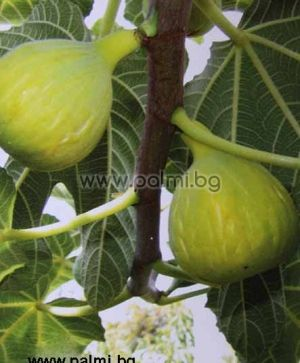 "Fig Kadota ""White"""