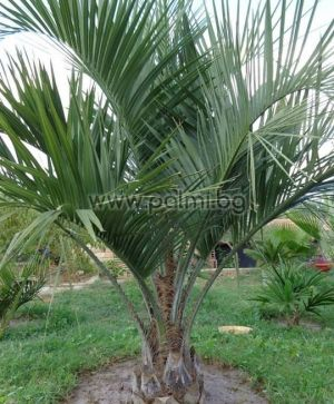 Pindo palm, Jelly palm