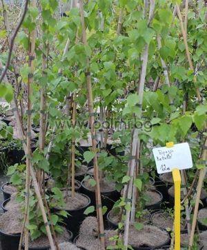 Betula alba, Birke von Botanischem Garten - Plovdiv, Bulgarien