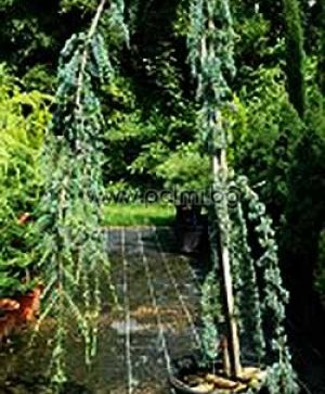Weeping Blue Atlas Cedar, 'Pendula'