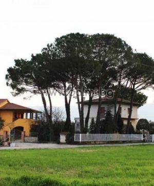 Mittelmeer-Pinie, Italienische Stein-Kiefer