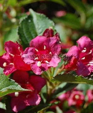 Weigela florida, Weigelie, dunkelrosa