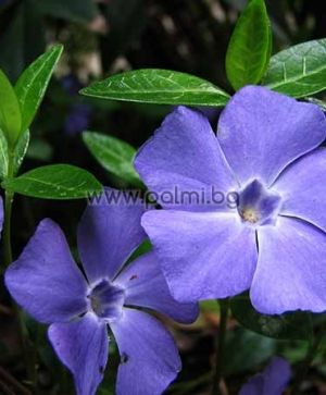 Creeping Myrtle, Lesser periwinkle