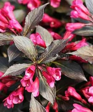 Weigela florida 'Spilled Wine'
