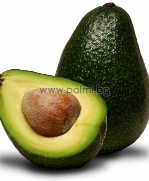 Grafted Avocado