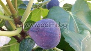 Fig variety Turca (Turkish)