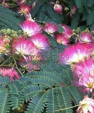 Persian Silk Tree, Pink Silk Tree