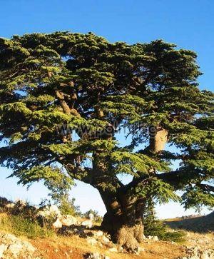 Ливански Кедър