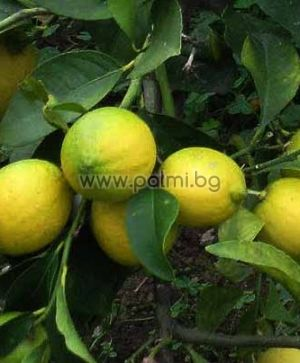 "Лимон ""Загара Бианка"""