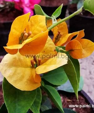 Bougainvillea 'Hawaiian Gold'