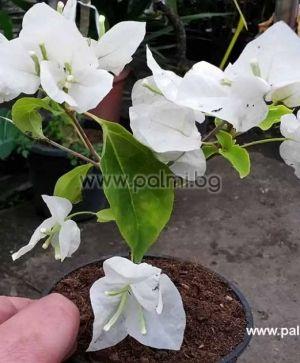 Бугенвилея, бяла, сорт 'Jamaica White'