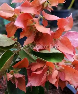 Bougainvillea 'Double Pink', pink-orange flowers