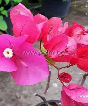 Bougainvillea 'Praiola Pride', pink-purple flowers