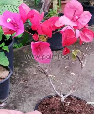 Бугенвилея, розово-лилава, 'Praiola Pride'