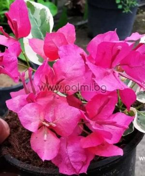Bougainvillea variegated 'Raspberry Ice'