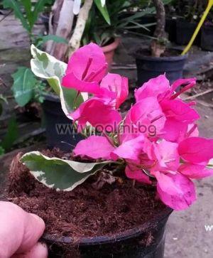 Бугенвилея, лилава с пъстри листа, сорт 'Raspberry Ice'