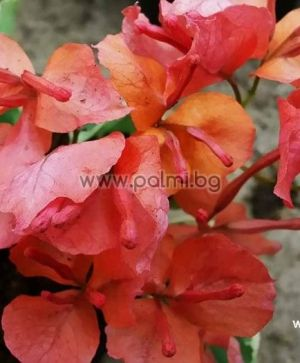 Bougainvillea 'Sunset', orange flowers, variegated leaves