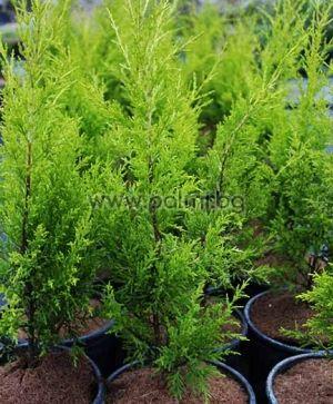 Cupressus macrocarpa 'Gold Crest', Monterey-Zypresse