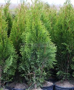 Thuja occidentalis 'Smaragd', Lebensbaum 'Smaragd'