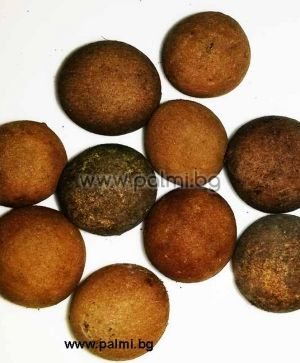 Mexican Blue Palm, 10 fresh seeds