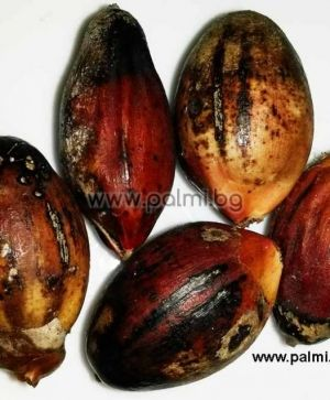 Kentia palm, 10 fresh seeds