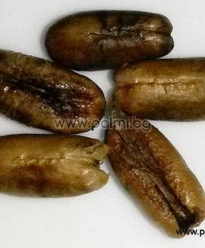 Pigmy Date Palm, 10 fresh seeds