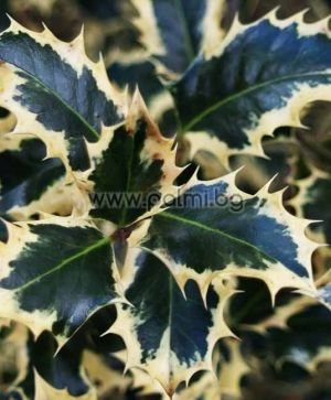 Ilex aquifolium, Variegated Common Holly, Argentea Marginata