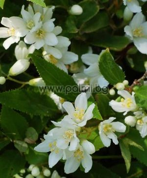 Deutzia gracilis, Deutzie