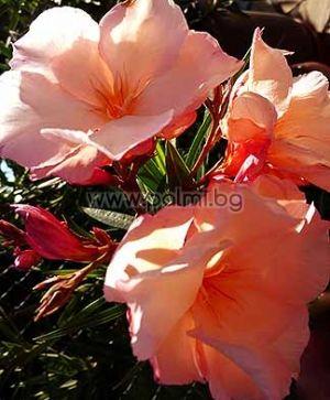 """Олеандър, прасковен цвят, сорт """"Provence"""""""