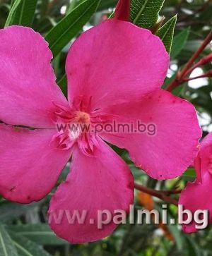 Олеандър, тъмно розов, сорт 'Margarita'