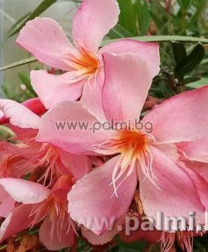 Олеандър, розов със жълт център, сорт 'Tito Poggi'