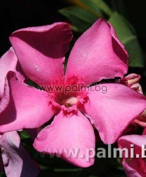 Олеандър, тъмно розов, сорт 'Belle Helene'