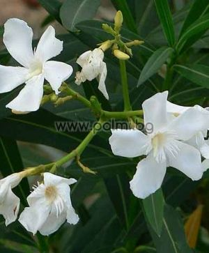 Oleander white, 'Toulouse'
