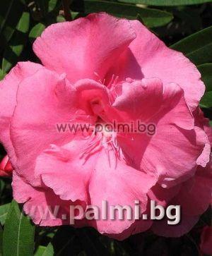 Олеандър, розов кичест, сорт 'Splendens'