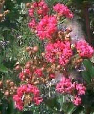 Индийски люляк, Лагерстремия 'Coccinea'